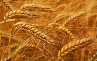 Зародыши пшеницы принесут пользу волосам