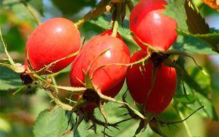 Масло шиповника — эффективное средство по уходу за локонами